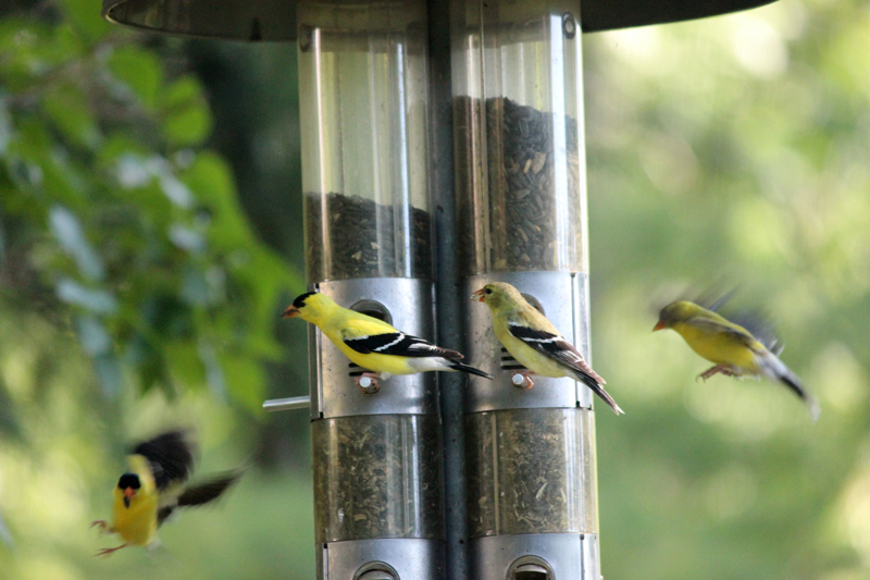 IMG_0100 [2012jul11]: two american goldfinch couples, lunchtime summer afternoon
